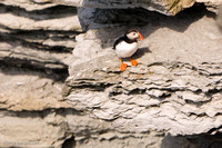 Puffins at Brough of Birsay (1)