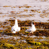 Black-headed gulls scrapping (1)